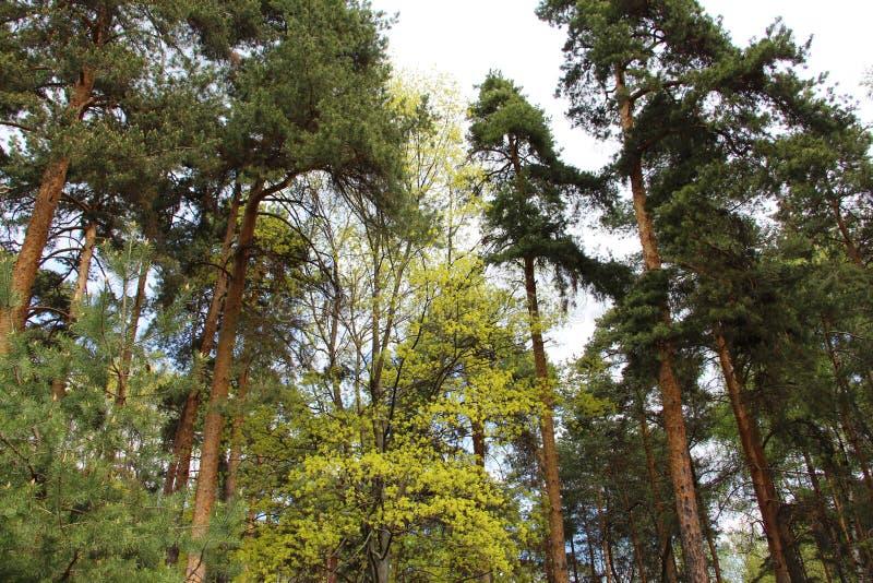 Μικτό δάσος - κωνοφόρα και αποβαλλόμενα δέντρα στο ίδιο δάσος στοκ εικόνες με δικαίωμα ελεύθερης χρήσης
