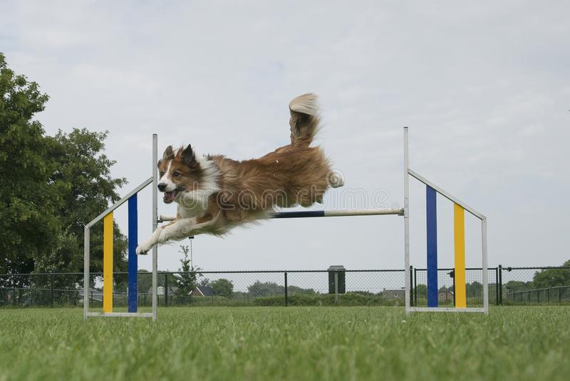 Μικτό κόλλεϊ σκυλί συνόρων που πηδά πέρα από ένα ενιαίο άλμα στοκ εικόνες
