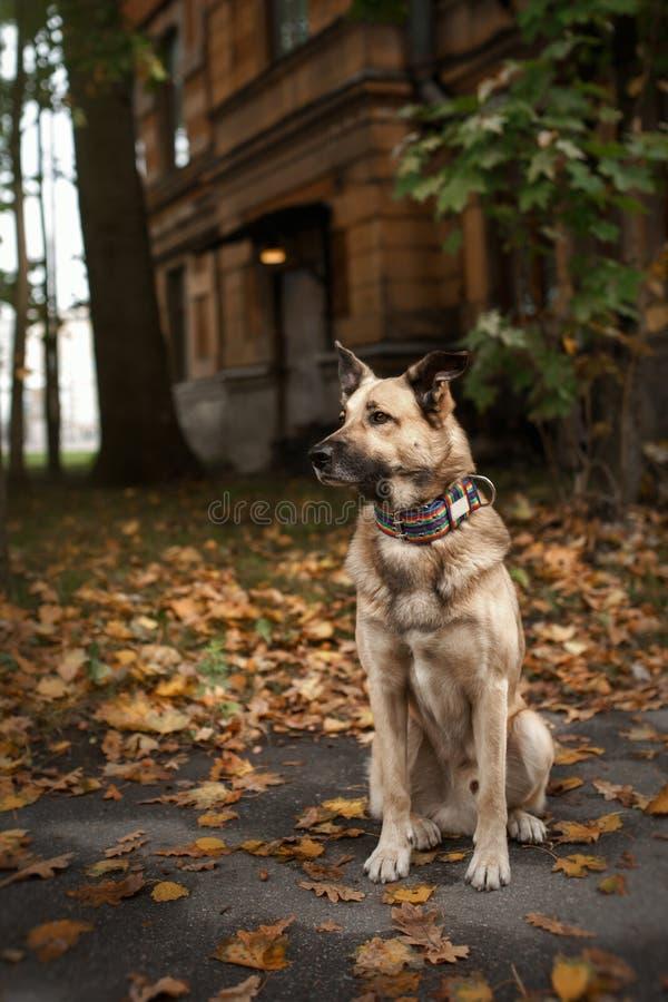 Μικτό σκυλί φυλής στο πάρκο φθινοπώρου στοκ εικόνα