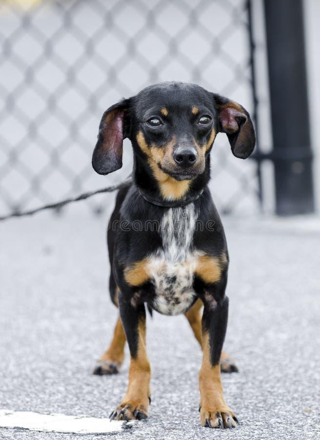 Μικτό σκυλί φυλής Chihuahua Chiweenie Dachshund στοκ εικόνα