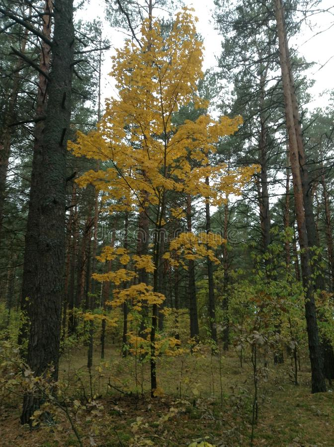Μικτό της Λευκορωσίας δάσος στοκ εικόνα