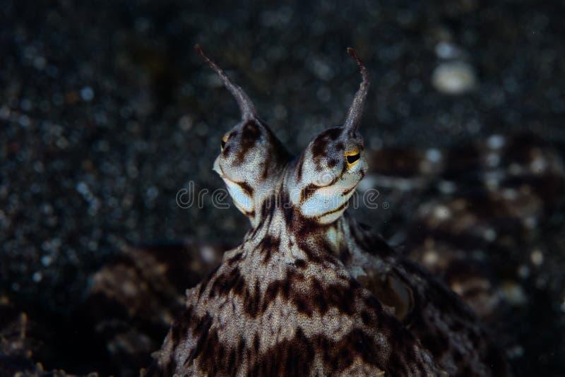 Μιμητικά μάτια χταποδιών στο στενό Lembeh στοκ φωτογραφία με δικαίωμα ελεύθερης χρήσης