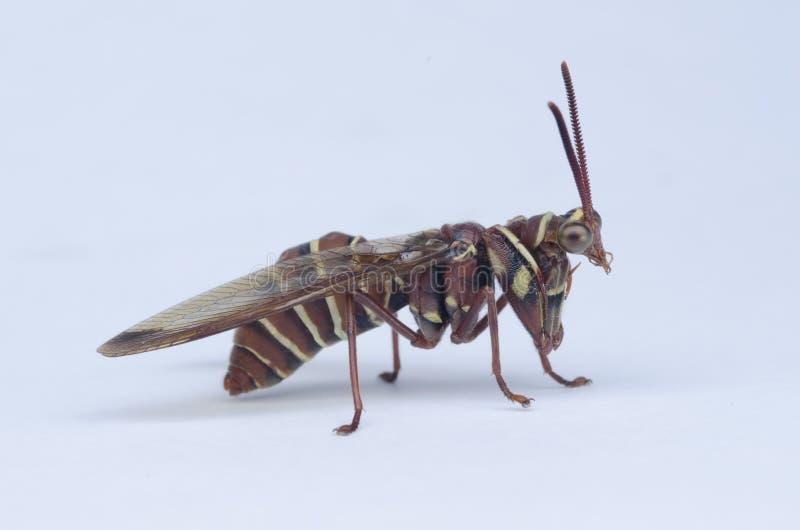 Μιμούμενη σφήκα επίκλησης Mantis στοκ φωτογραφία με δικαίωμα ελεύθερης χρήσης