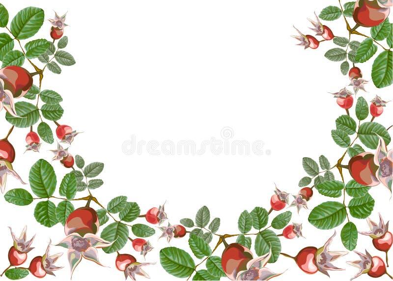 Μισά στρογγυλά λουλούδια ισχίων ισχίων Dogrose ελεύθερη απεικόνιση δικαιώματος