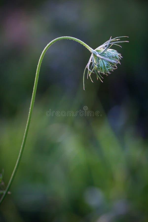 Μισσούρι Wildflower στοκ εικόνες