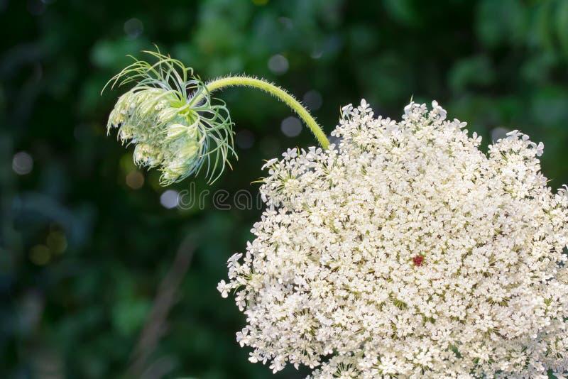 Μισσούρι Wildflower στοκ εικόνα με δικαίωμα ελεύθερης χρήσης