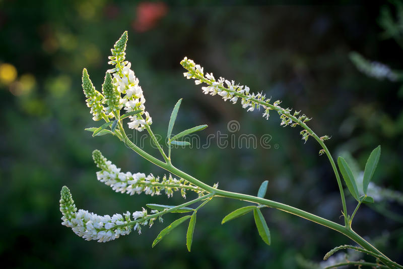 Μισσούρι Wildflower στοκ φωτογραφίες