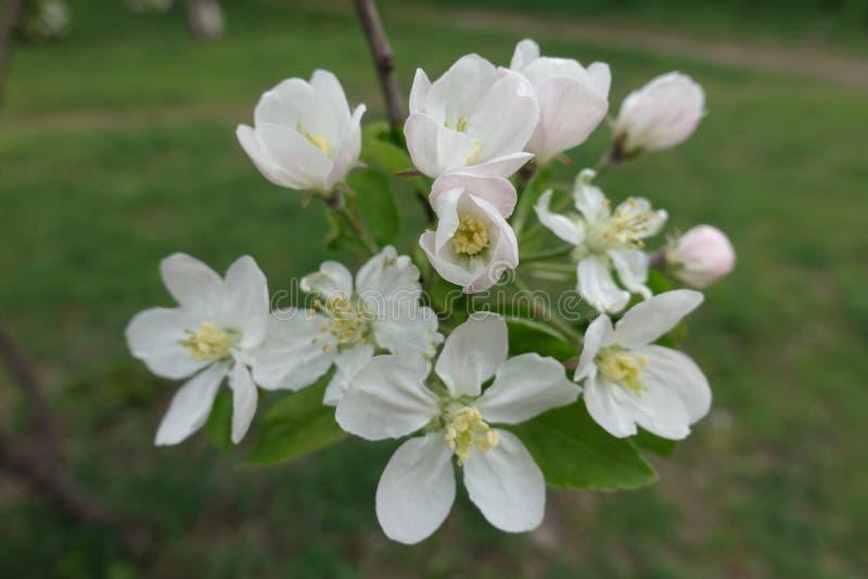Μισό-ανοιγμένα και πλήρως ανοιγμένα λουλούδια του μήλου την άνοιξη στοκ φωτογραφία
