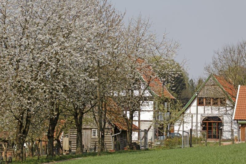 Μισό-εφοδιασμένο με ξύλα σπίτι με το άνθος κερασιών τον Απρίλιο σε Holperdorp, έδαφος Tecklenburger, North Rhine-Westphalia, Γερμα στοκ εικόνες