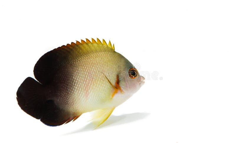 Μισό-μαύρα θαλάσσια ψάρια αγγέλου στο άσπρο υπόβαθρο στοκ φωτογραφίες