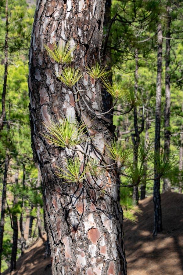 Μμένος φλοιός δέντρων και νέο πράσινο regrowth μετά από μια δασική πυρκαγιά το canariensis πεύκων δέντρων πεύκων Κανάριων νησιών στοκ εικόνες