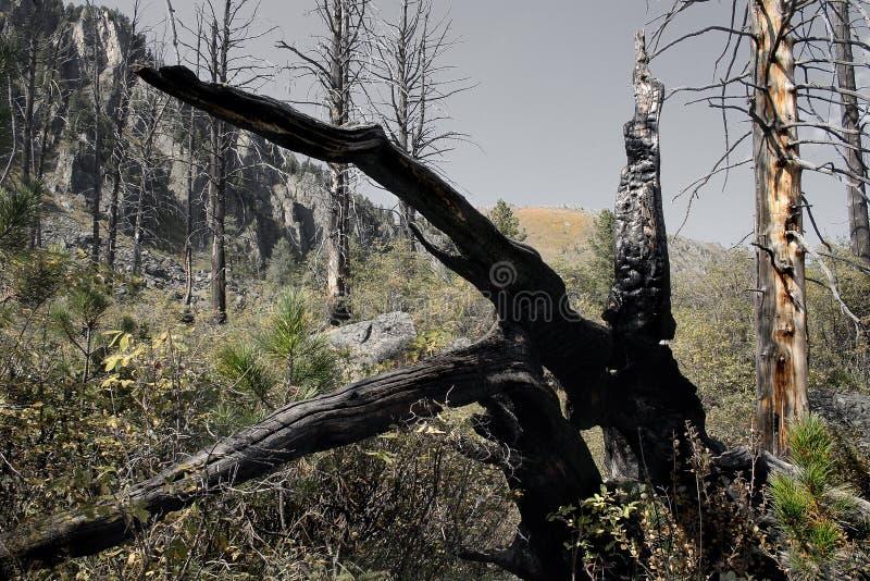 μμένο δάσος στοκ εικόνα με δικαίωμα ελεύθερης χρήσης
