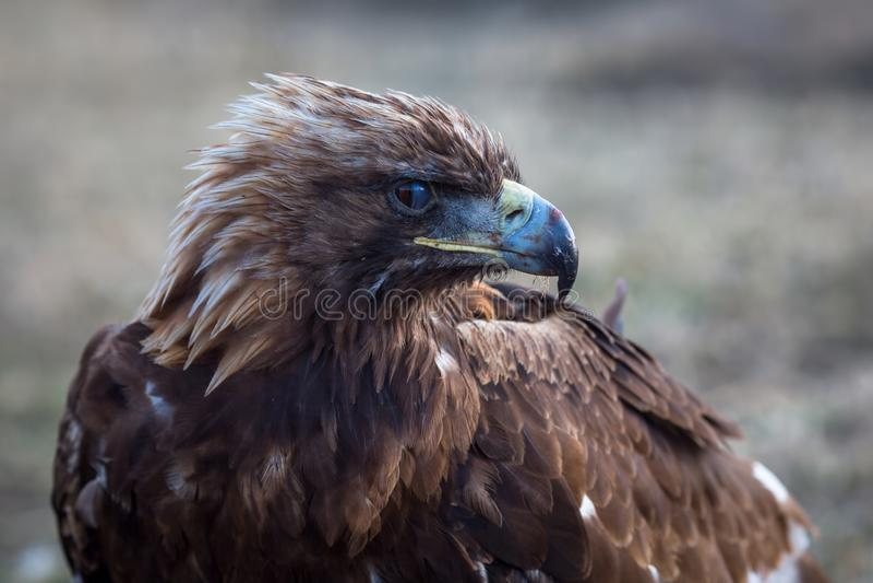Μογγολικός χρυσός αετός στη στέπα Φύση στοκ εικόνα