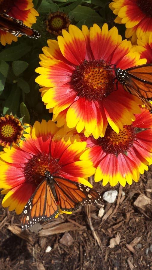 Μονάρχες στα λουλούδια στοκ φωτογραφία με δικαίωμα ελεύθερης χρήσης