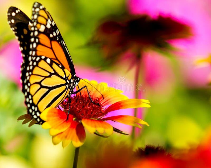μονάρχης λουλουδιών πεταλούδων αρκετά στοκ εικόνα