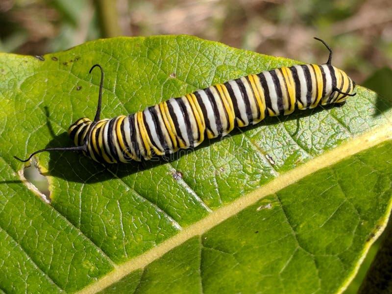 Μονάρχης πεταλούδα πεταλούδα στο milkweed στοκ φωτογραφίες με δικαίωμα ελεύθερης χρήσης
