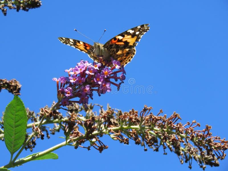 Μονάρχης σε πεταλούδα στοκ φωτογραφία με δικαίωμα ελεύθερης χρήσης
