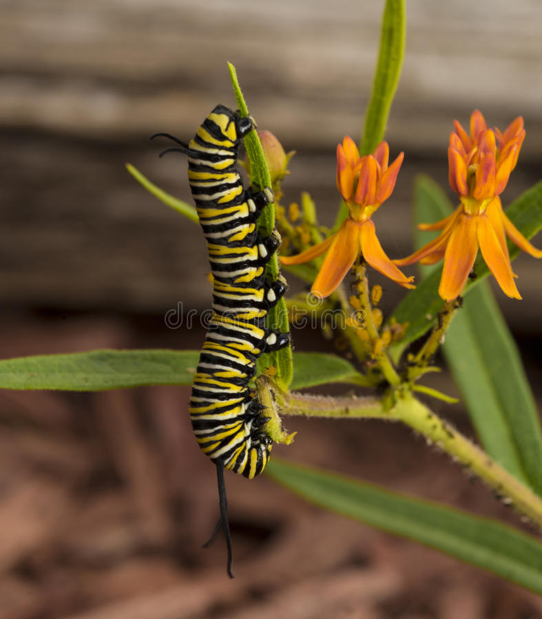 Μονάρχης Caterpillar στοκ φωτογραφία