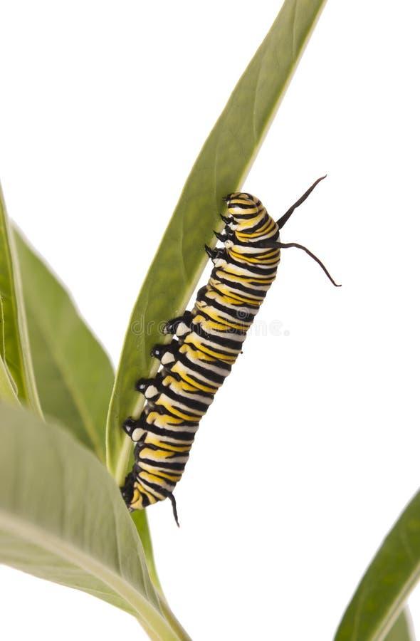 Μονάρχης Caterpillar στοκ εικόνες