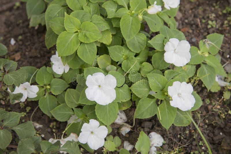 Μοναδικός άσπρος κήπος λουλουδιών στοκ φωτογραφίες