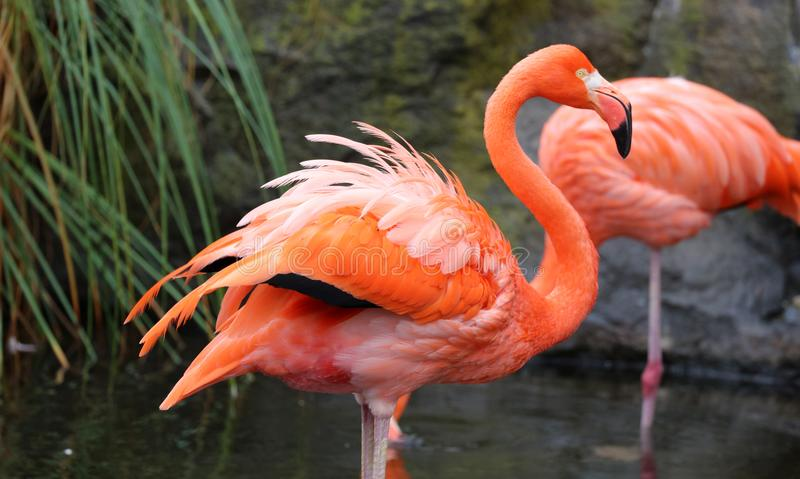 Μοναδικό κόκκινο φλαμίγκο σε μια λίμνη, υψηλή φωτογραφία καθορισμού αυτού του θαυμάσιου αναφερόμενου στα πτηνά στη Νότια Αμερική στοκ φωτογραφίες με δικαίωμα ελεύθερης χρήσης