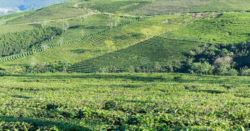 Μοναδικό υπόβαθρο με τα φρέσκα πράσινα φύλλα τσαγιού, λόφος τσαγιού μέρος 18 παραγωγής τσαγιού στοκ φωτογραφίες με δικαίωμα ελεύθερης χρήσης