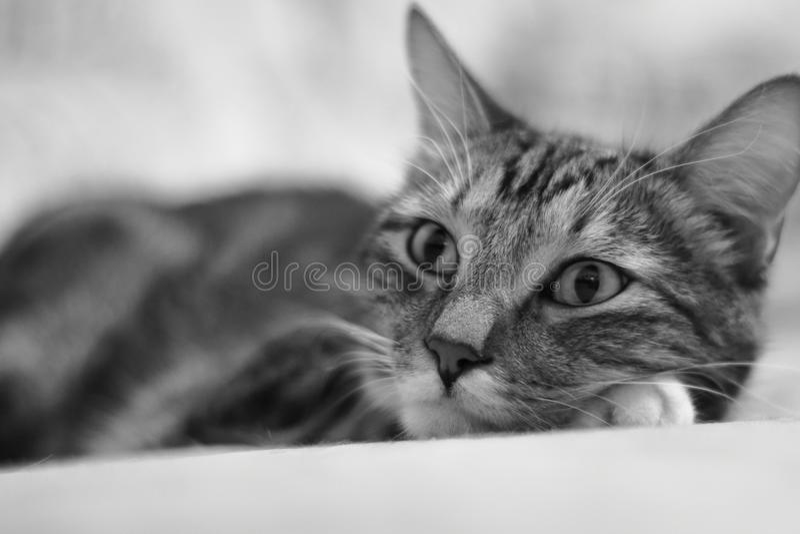 μοναξιά Πορτρέτο μιας με κοντά μαλλιά ριγωτής εσωτερικής γάτας στοκ εικόνες