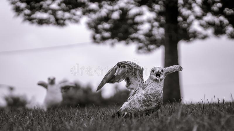 Μονοχρωματική εικόνα seagulls για να απογειωθεί περίπου με το δέντρο σε μαλακό στοκ εικόνες