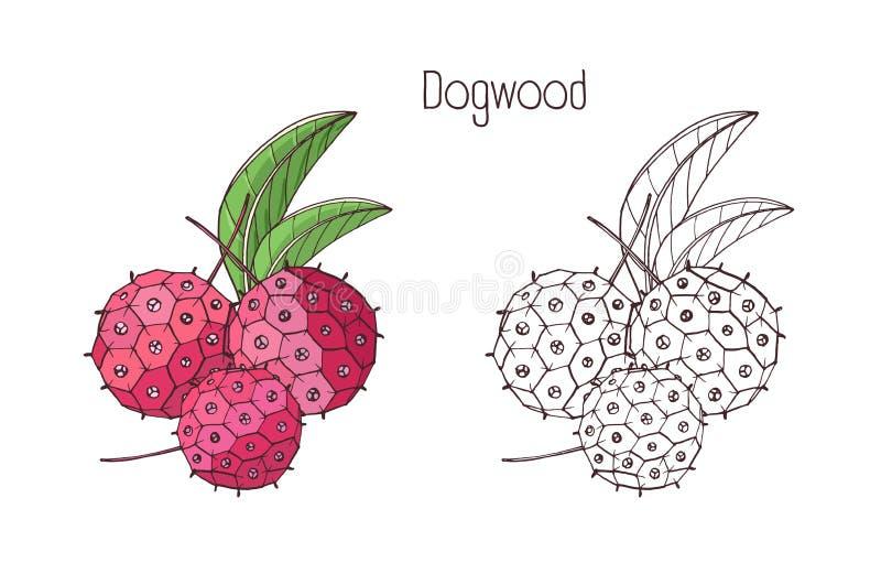 Μονοχρωματική περίληψη και χρωματισμένα σχέδια του εξωτικού μούρου dogwood Τροπικά φρέσκα ώριμα εύγευστα juicy φρούτα και φύλλα διανυσματική απεικόνιση