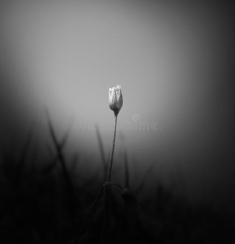 Μονοχρωματικό ομιχλώδες λουλούδι - minimalistic έννοια στοκ φωτογραφία με δικαίωμα ελεύθερης χρήσης