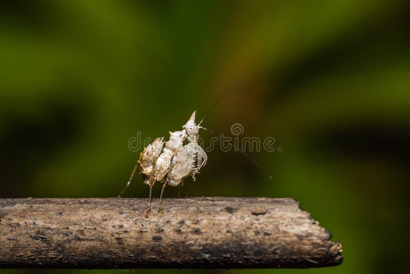 Μονόκερος Mantis στοκ εικόνες