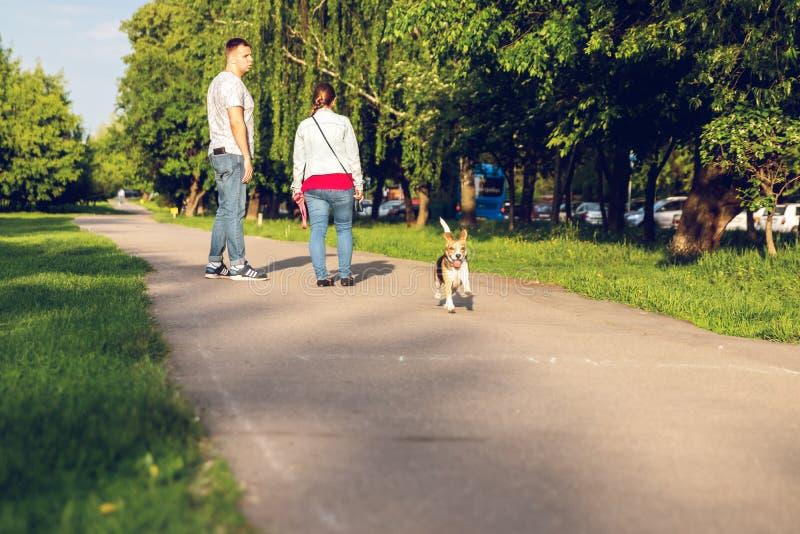 ΜΟΣΧΑ, ΡΩΣΙΑ - 20 ΜΑΐΟΥ 2019: Πορτρέτο του χαριτωμένου σκυλιού λαγωνικών στο πάρκο στο θερινό χρόνο Αστείο πορτρέτο κατοικίδιων ζ στοκ φωτογραφία με δικαίωμα ελεύθερης χρήσης