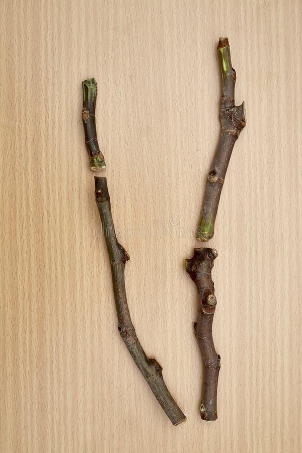 Μοσχεύματα δέντρων σύκων στοκ φωτογραφία με δικαίωμα ελεύθερης χρήσης