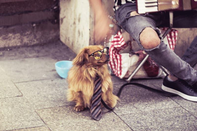 Μουσικός οδών, busker με το σκυλί στα γυαλιά και το δεσμό στην Κρακοβία, Πολωνία στοκ εικόνα