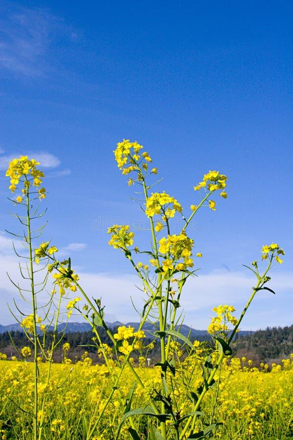 Download μουστάρδα λουλουδιών στοκ εικόνες. εικόνα από σύννεφα, άνοιξη - 76288