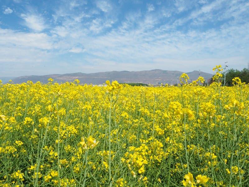 μουστάρδα πεδίων ανθών κίτρινη στοκ εικόνες με δικαίωμα ελεύθερης χρήσης