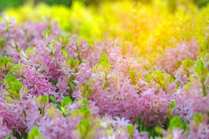 Μουτζουρωμένο φως του λουλουδιού υάκινθων στον κήπο στοκ εικόνες