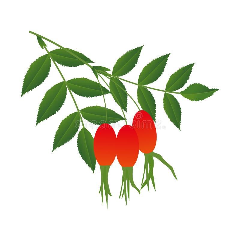 Μούρα ροδαλών ισχίων με τα φύλλα απεικόνιση αποθεμάτων