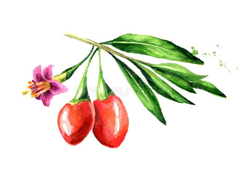 Μούρα Goji ή barbarum Lycium με τα φύλλα και λουλούδι στον κλάδο Συρμένη χέρι απεικόνιση Watercolor, που απομονώνεται στο λευκό στοκ εικόνες με δικαίωμα ελεύθερης χρήσης