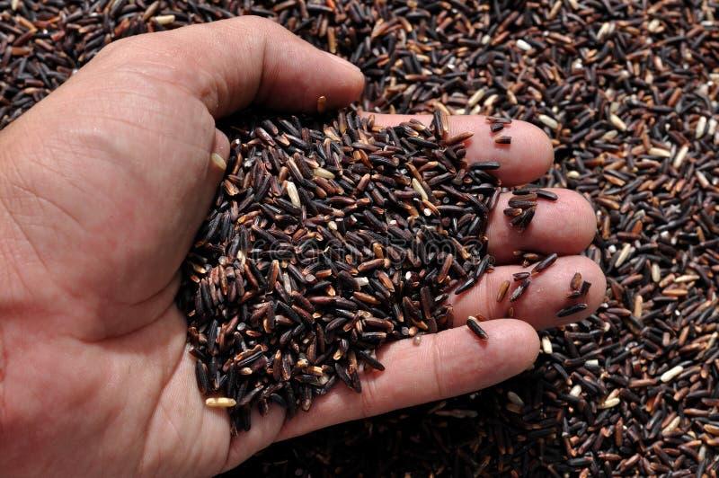 Μούρο ρυζιού, νέο ταϊλανδικό ρύζι στοκ φωτογραφίες με δικαίωμα ελεύθερης χρήσης