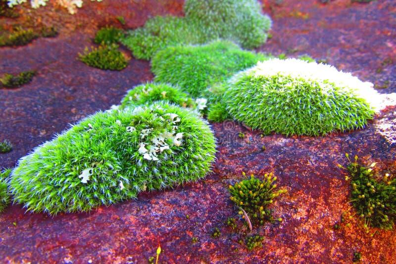 Μπαλώματα του πράσινου βρύου με τις αφές της λειχήνας σε έναν κοκκινωπό βράχο στοκ φωτογραφία