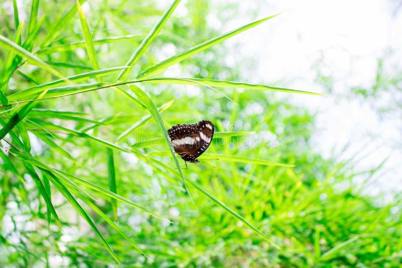 Μπαμπού πεταλούδων στοκ εικόνες