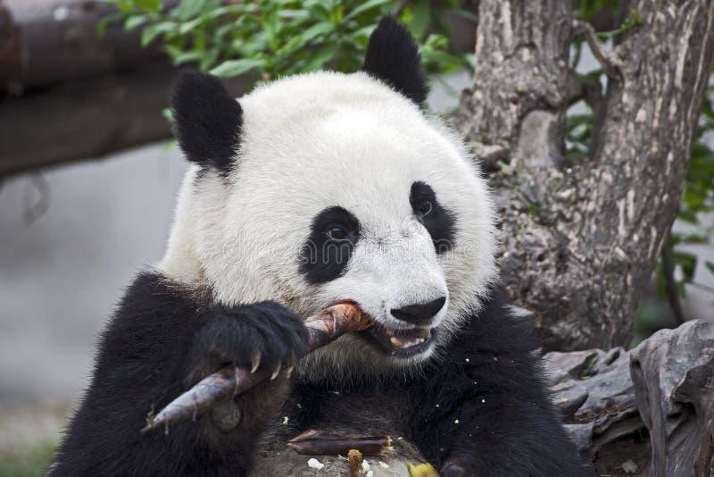 μπαμπού που τρώει το βλαστό panda στοκ φωτογραφία με δικαίωμα ελεύθερης χρήσης