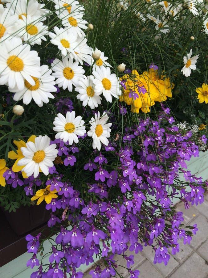 Μπαλκόνι lobelia της Daisy στοκ εικόνες με δικαίωμα ελεύθερης χρήσης