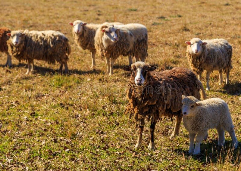 Μπερδεμένα πρόβατα και αρνί στοκ εικόνα
