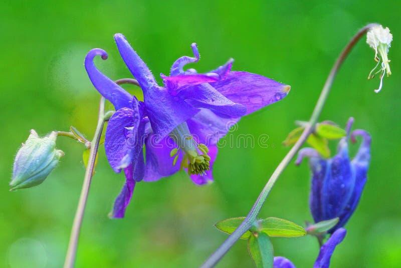 Μπλε άγρια λουλούδια οφθαλμών των bluebells σε έναν πράσινο μίσχο στοκ φωτογραφία