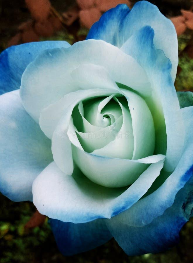 Μπλε άσπρος που σκιάστηκε αυξήθηκε στοκ φωτογραφία