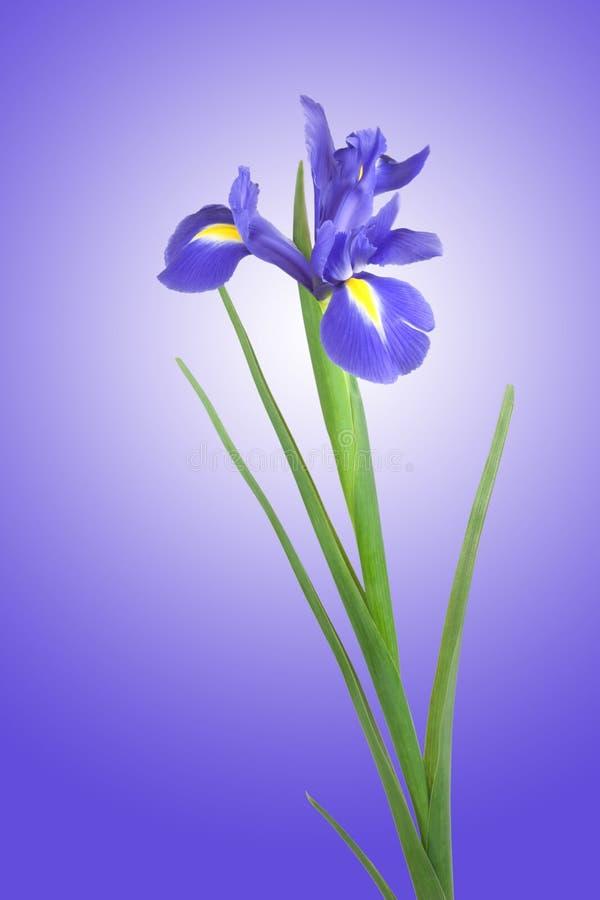 μπλε ίριδα λουλουδιών στοκ εικόνες με δικαίωμα ελεύθερης χρήσης