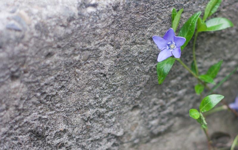 Μπλε ανάπτυξη λουλουδιών στην οδό Γκρίζο υπόβαθρο πετρών στοκ φωτογραφίες