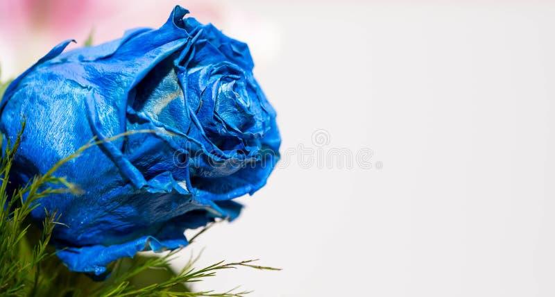 Μπλε αυξήθηκε κοντά επάνω στον πυροβολισμό στο λευκό, διάστημα αντιγράφων στοκ φωτογραφίες